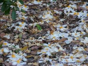 A camellia carpet