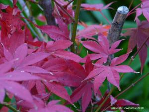 Japanese Maple in Autumn finery