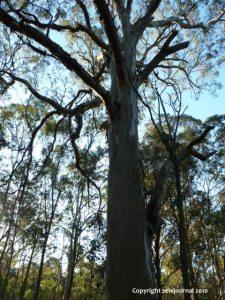 Eucalyptus Tereticornis - Forest Red Gum